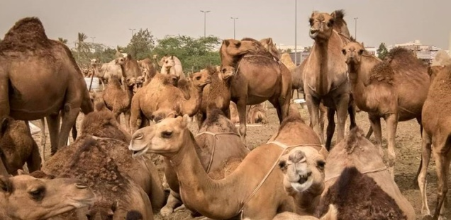 Sam has been a lover of camels since he was a child. He enjoys visiting his camel friends here in Saudi Arabia.