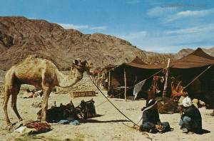 Bedouin families still enjoy desert life, herding goats and camels is often a very profitable livelihood.