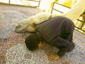 In Saudi Arabia, even the camels bow in prayer!