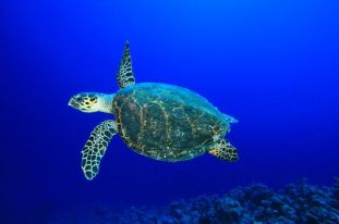 Red Sea Hawksbill turtles are on the decline due to degradation of nesting habitats.